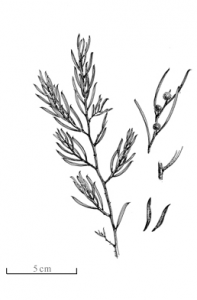 Acacia bynoeana, known colloquially as Bynoe's wattle or tiny wattle, is a species of Acacia native to eastern Australia. Illustration by Marion H Simmons.