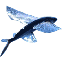BajanThings - flying fish