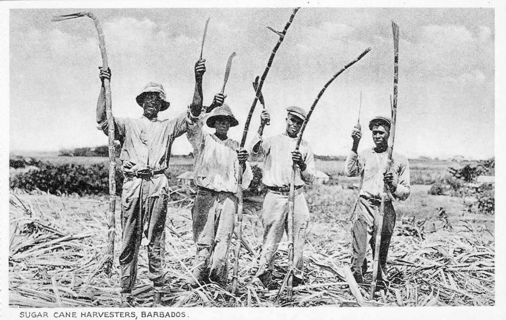 Sugar Cane Harvesters - Barbados