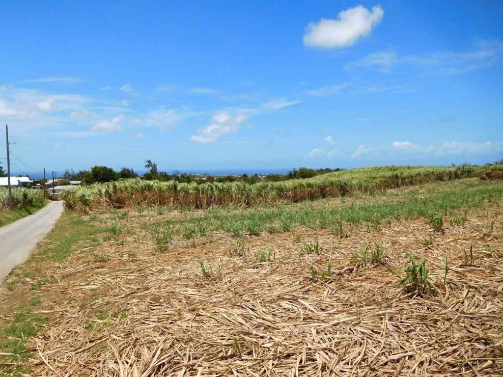 Fallow cane field Barbados
